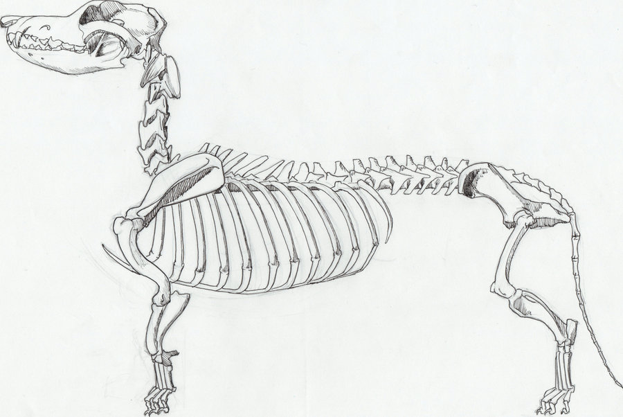Welsh Corgi Skeleton by aarynelle