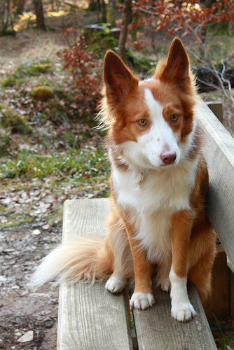 welsh-collie1