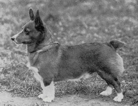 naturally-bob-tailed-corgi.jpg w500